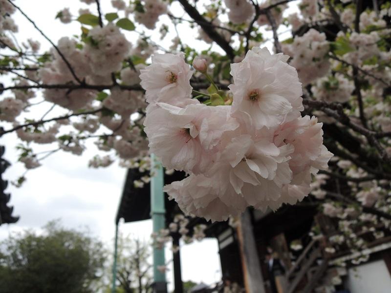 一心寺 境内の桜