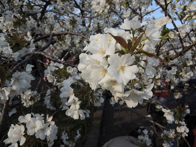 白い桜 鍾馗