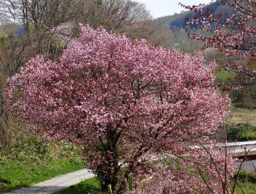 s-657-1桜
