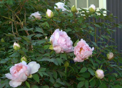 s-673-3牡丹の開花