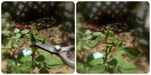 s-674-3銀嶺のツボミ摘み