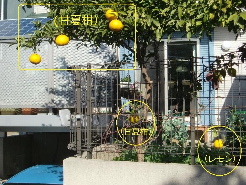 150107amanatu&lemon