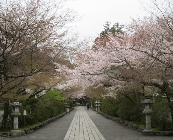 石山寺の参道の桜