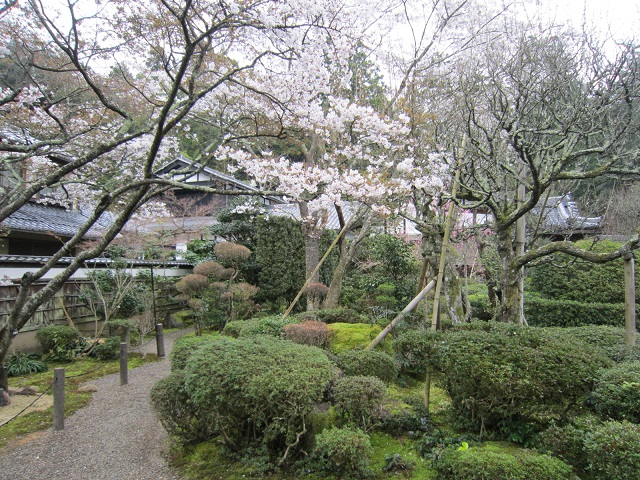 西明寺 不断桜
