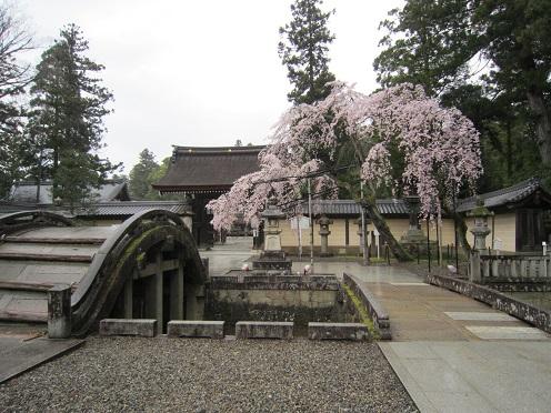 多賀大社 太閤橋と桜