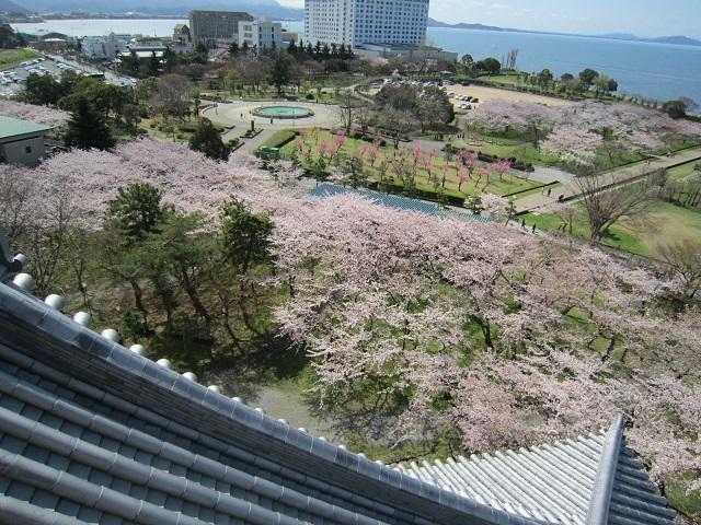 長浜城の桜2