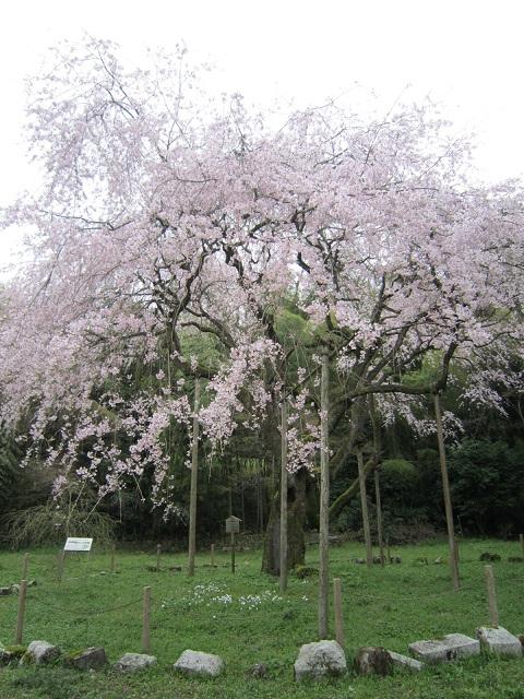 井伊神社しだれ桜