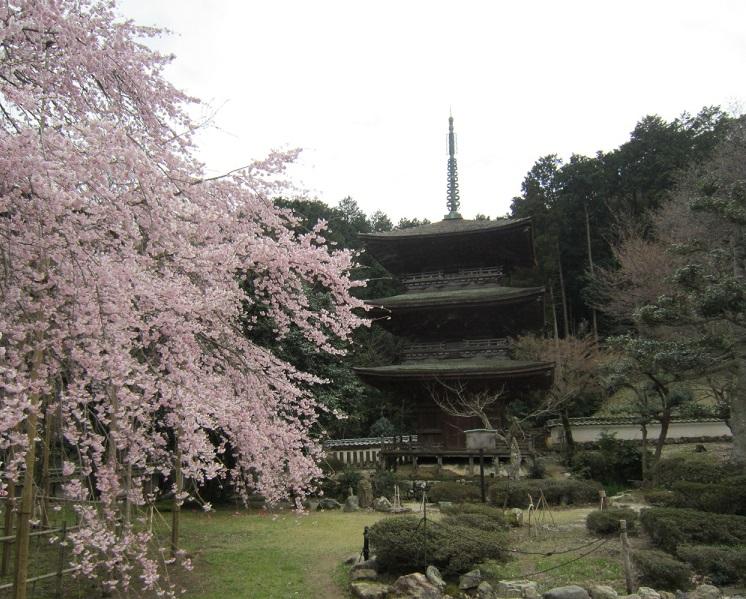 徳源院三重塔と道誉桜
