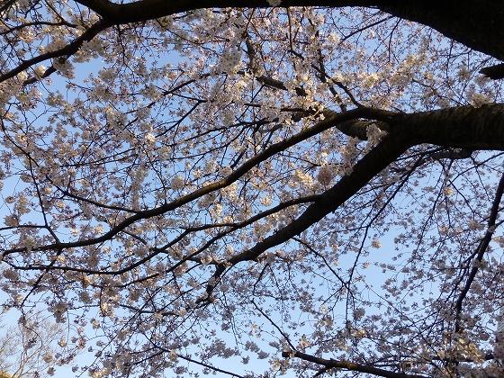 ソメイヨシノ2015年3月30日_06