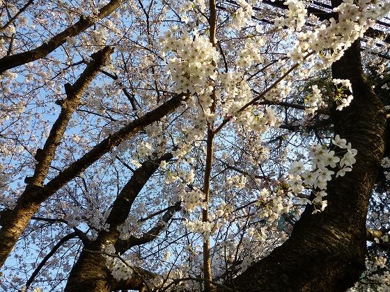 ソメイヨシノ2015年3月30日_07