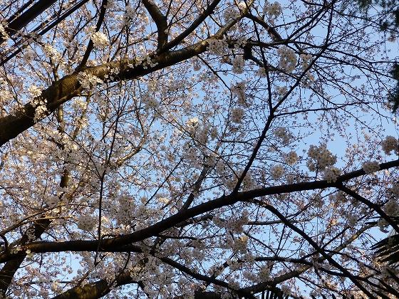 ソメイヨシノ2015年3月30日_10