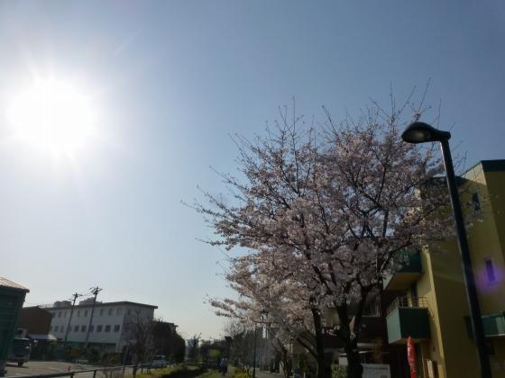 桜_江川せせらぎ遊歩道_16