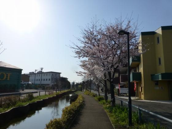 桜_江川せせらぎ遊歩道_19