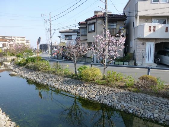 桜_江川せせらぎ遊歩道_21