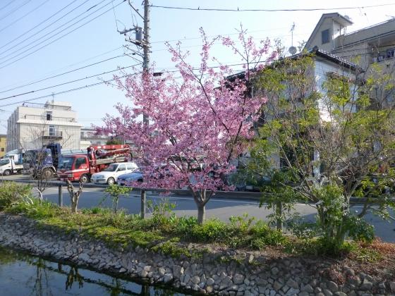 桜_江川せせらぎ遊歩道_22