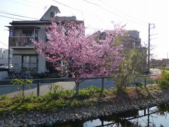 桜_江川せせらぎ遊歩道_23