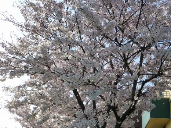 SAKURA2015江川せせらぎ遊歩道23
