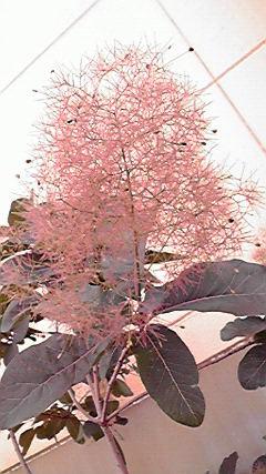 smoketree3.jpg