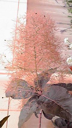 smoketree4.jpg